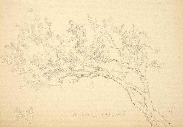 [Собрание И.В. Качурина] Фальк Роберт Рафаилович (1886–1958) «Алыча красная». 1930-е. Бумага, графитный карандаш, 15,4x21,2см.
